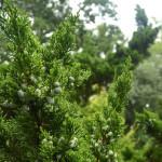 herbalalcoholgin_520
